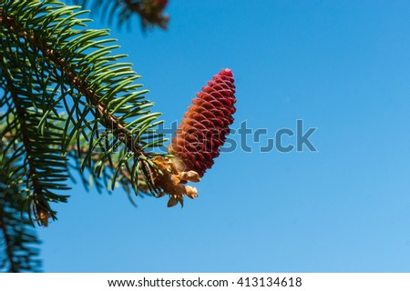 Flowering fir branch with red and pink cones - stock photo