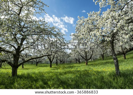Flowering fruit trees on a meadow orchard