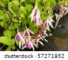 Flowering fuchsia plants in a greenhouse - stock photo