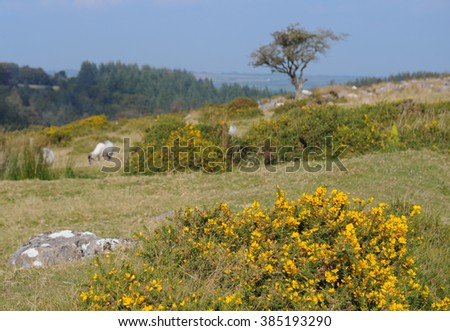 Flowering Gorse (Ulex) on the Ancient Settlement of Round Pound on Chagford Common, near the Rural Market Town of Chagford, within Dartmoor National Park, Devon, England, UK - stock photo