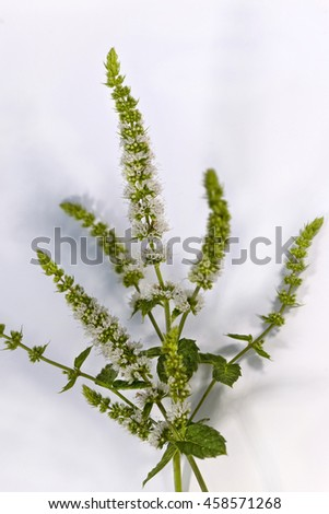 Flowering green mint on a white background