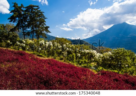 Flowering hillside & view of volcano, Volcan de Agua (Water Volcano) from outside Antigua, Guatemala, Central America - stock photo