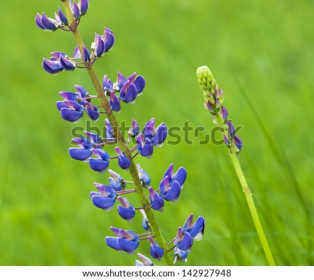 Flowering Large-leaved lupine (Lupinus polyphyllus).