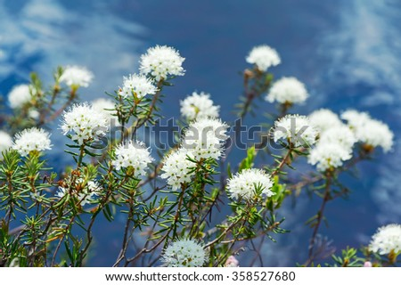 Flowering ledum on the lake over water - stock photo
