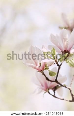Flowering Magnolia - stock photo