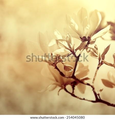 Flowering Magnolia - stock photo