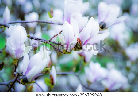 Flowering magnolia tree densely covered with beautiful fresh pink and white flowers in spring - stock photo