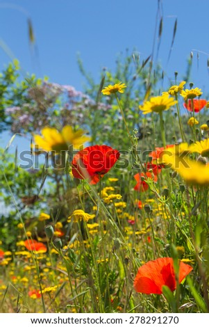 flowering meadow, Gran Canaria, late spring - stock photo