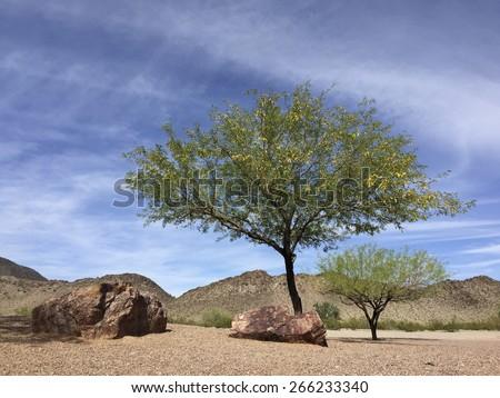 Flowering Mesquite trees in Arizona mountain desert backyard in spring time - stock photo