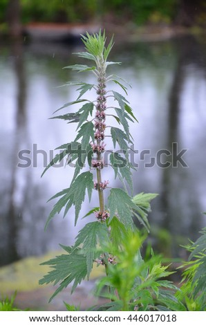 Flowering motherwort (Leonurus quinquelobatus) - stock photo