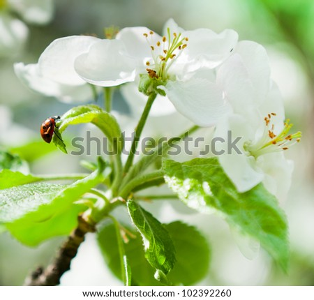 Flowering of apple trees