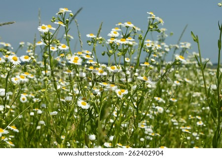 Flowering of Eastern daisy fleabane plants in summer windy weather, or Phalacroloma annuum is a synonym of Erigeron annuus - stock photo