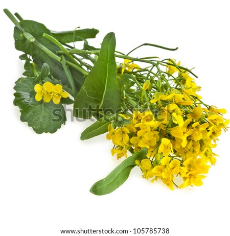 Flowering oilseed rapeseed , Rape blossoms , Brassica napus, isolated - stock photo