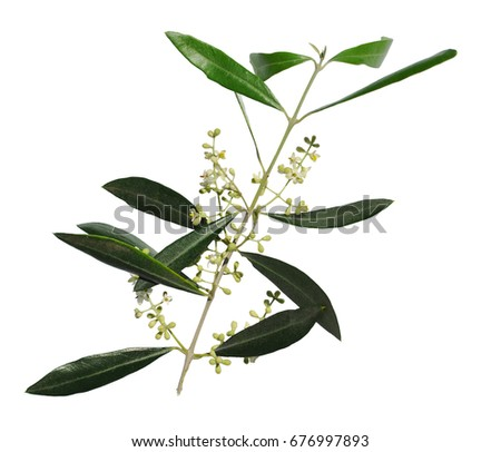 Flowering Olive Tree Branch Symbol Peace Stock Photo Royalty Free