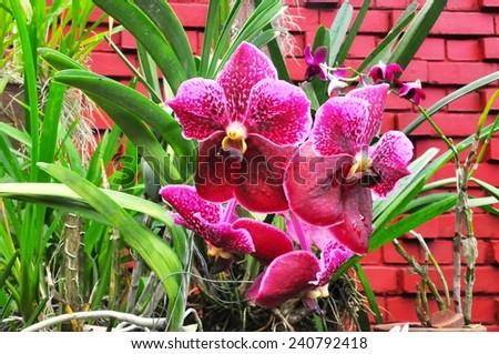 Flowering orchids in Botanical Garden in Peradeniya - stock photo