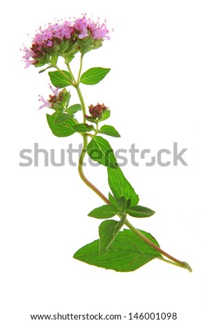 Flowering oregano (Origanum vulgare) - isolated in front of white background - stock photo