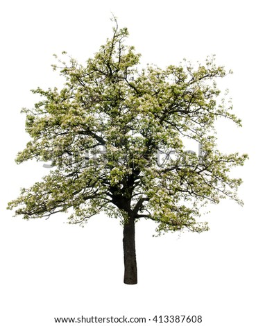 flowering pear tree isolated on white background - stock photo