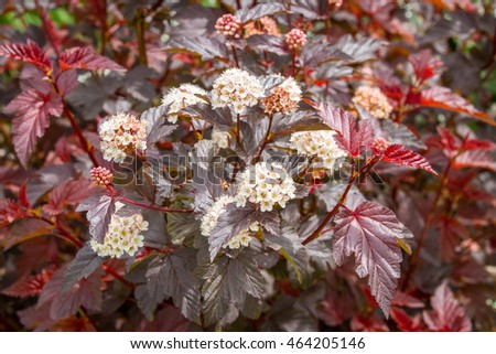 Flowering physocarpus red leaves white flowers stock photo royalty flowering physocarpus with red leaves and white flowers also called ninebark a popular red leaved mightylinksfo Images