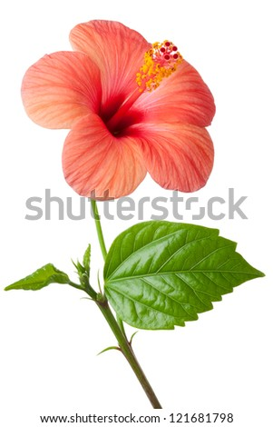 Flowering pink Hibiscus. Isolated on a white. - stock photo