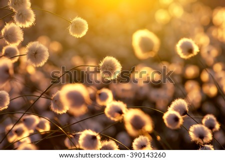 Flowering plant cotton grass in the setting sun - stock photo