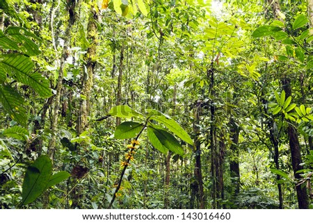 Flowering plant in the rainforest understory, Ecuador - stock photo