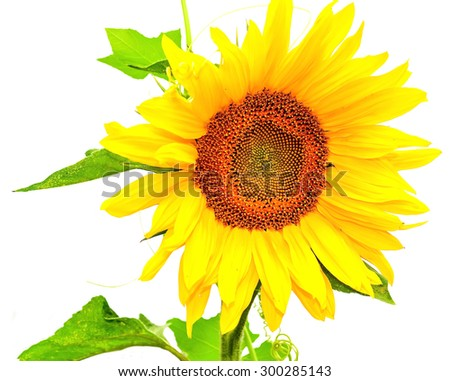 Flowering plants sunflowers on a white background isolated