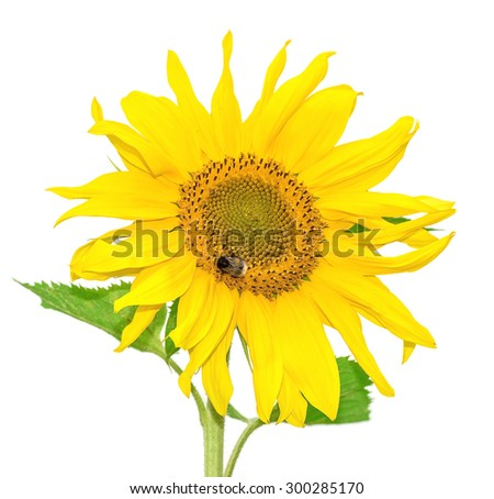 Flowering plants sunflowers on a white background isolated - stock photo