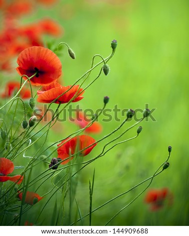 Flowering poppies in the field. - stock photo
