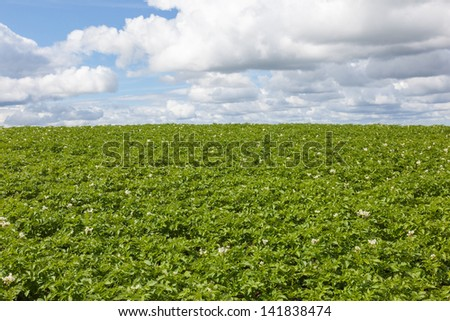 Flowering potato field in the summer - stock photo