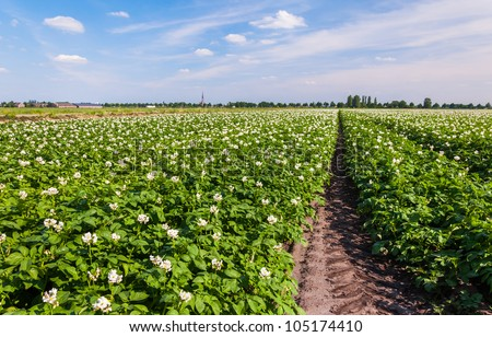 Flowering potato plants in a large field at the edge of a small village.
