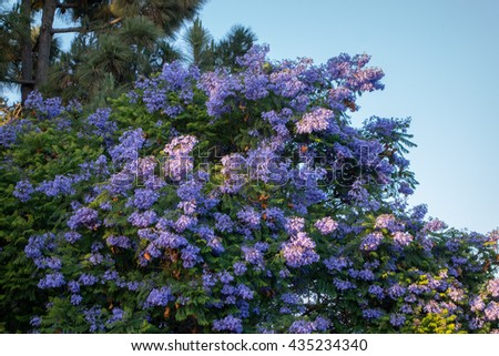 Flowering purple-blue Jacaranda tree crown with brown fruit pods - stock photo