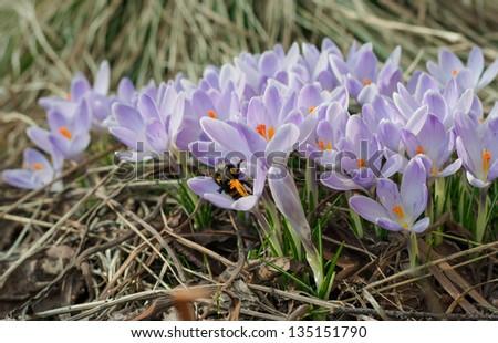 Flowering purple crocuses in spring garden - stock photo