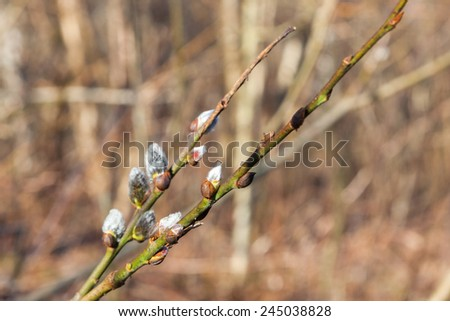 Flowering Pussy willow branch in spring - stock photo