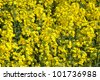 Flowering rapeseed, Brassica napus, on a field of rape in spring - stock photo