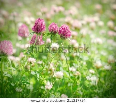 Flowering red clover - stock photo
