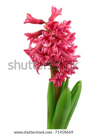 flowering red hyacinth on a white background - stock photo