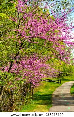 Flowering redbud trees by a bike path in the Bedford Reservation, Cleveland Metroparks - stock photo