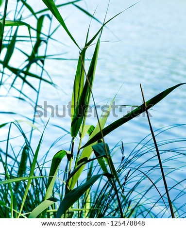 Flowering reed plants near to a lake.
