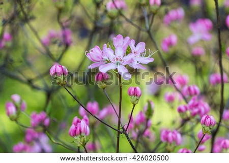 flowering rhododendron in the spring garden closeup - stock photo