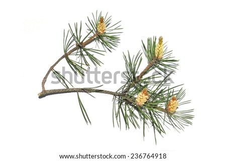 Pinus Sylvestris Pollen Pinus Sylvestris on White