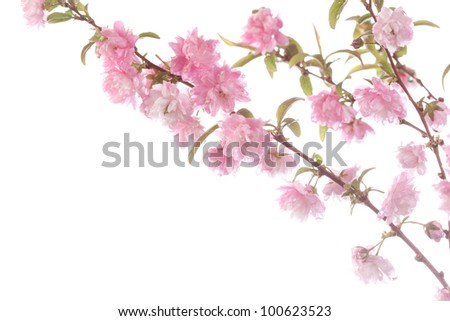 flowering shrub branch