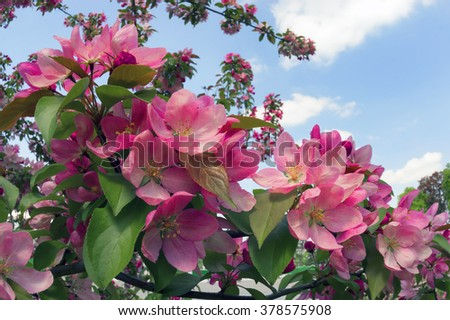 Flowering shrub ornamental tree with sakura petals and a delicate aroma - a symbol of a new crop of spring victory vitality of nature clean environment the farmer gardener joy Earth - stock photo