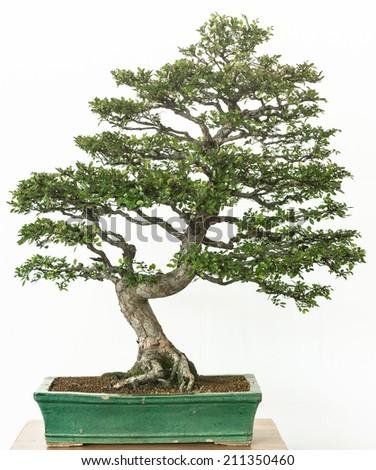 Flowering shrubby cinquefoil (Potentilla fruticosa) as bonsai tree - stock photo