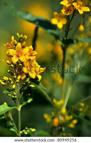 Flowering St John's wort ( Hypericum perforatum) also known as Tipton's Weed, Chase-devil, or Klamath weed - stock photo