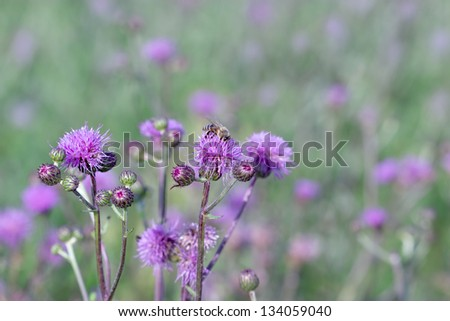 Flowering thistle -  bee pollinating burdock - stock photo