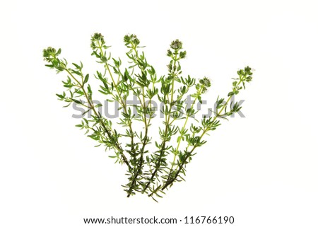 flowering thyme (Thymus vulgaris) isolated against a white background