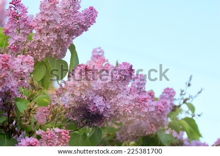 flowering tree lilac as symbol spring awakening nature - stock photo