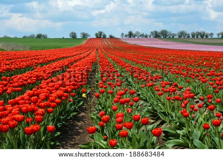 flowering tulips growing on a field in spring - stock photo