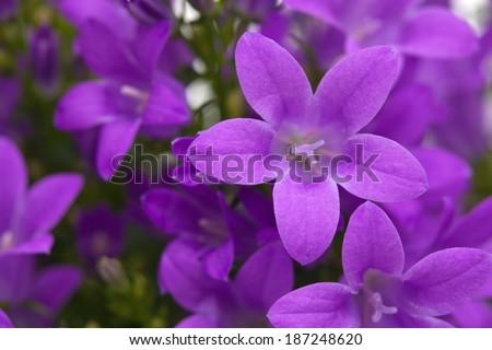 flowering wall bellflower Campanula portenschlagiana - stock photo