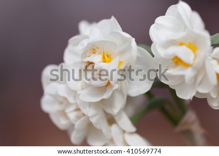 Flowering white fluffy spring daffodils closeup - stock photo